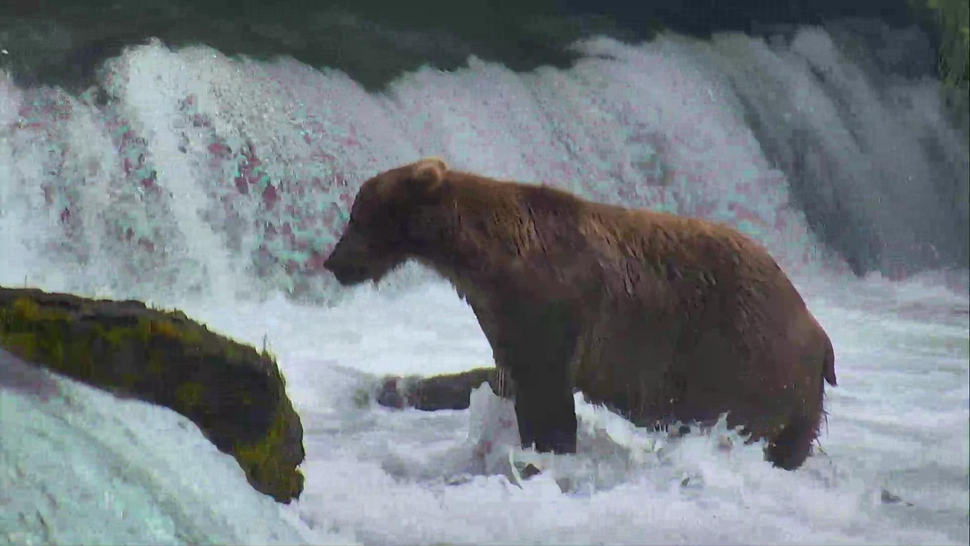 Bear Osos Videos Porno brown bear cam - brooks falls in katmai national park