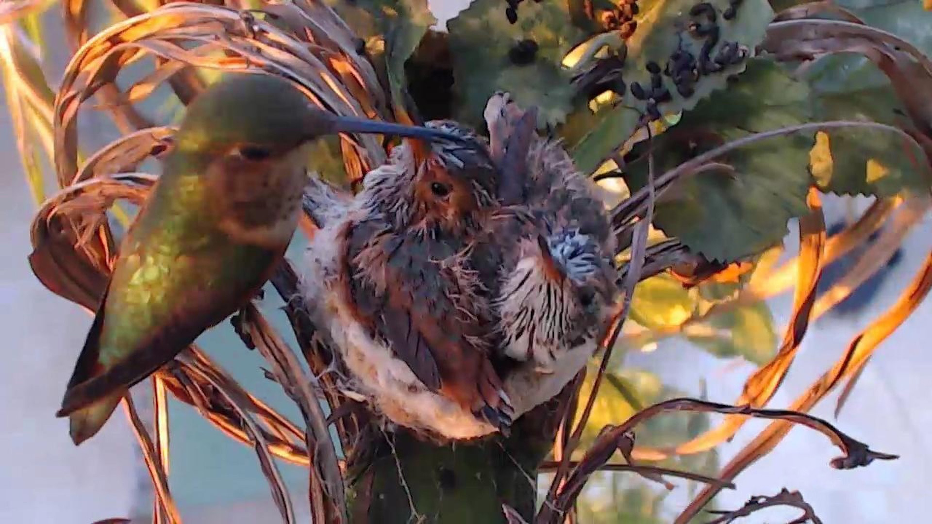 list of synonyms and antonyms of the word hummingbird nest cam