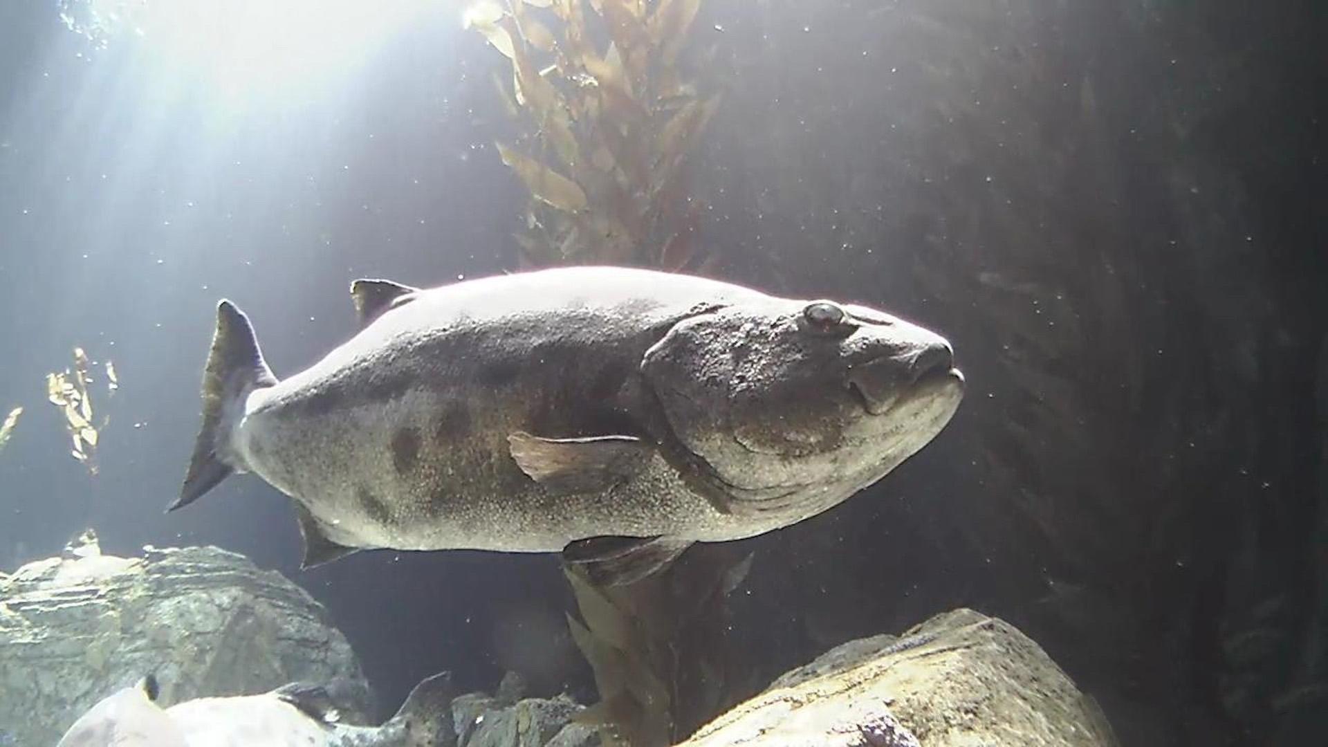 Live Underwater Aquarium Camera Catalina Blue Cavern