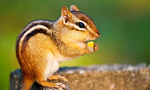 live cams player chipmunk mountain