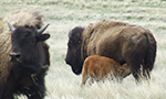 Bison are the largest indigenous land mammal on the North American con