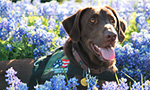 Patriot PAWS trains service dogs primarily for veterans with mobility disabilities. The dogs begin their training from 6-12 weeks old for as long as 18-24 months at an aver