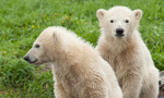 Siku & his Polar Bear Family
