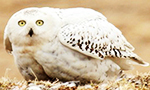 Snowy Owls breed only in the Arctic. Adult males are almost pure white and females white with dark brown bars and spots (mottling). They build their nests on the ground, preferring high points such as mounds to watch for predators.