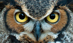 A powerful and adaptable bird of prey, the Great Horned Owl has the most extensiv