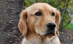 ECAD breeds and trains Assistance Dogs for clients with a wide variety of disabilities and needs. Our dogs are taught to retrieve items, open doors, activate light switches, pull wheelchairs, balance, brace, and perform many other highly specialized tasks through the ECADemy© training program. 