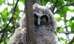 "Named after its prominent ""ear"" tufts, the Long-eared Owl (abbreviated LEOW) is a medium-sized owl that travels lightly on the wing and looks slimmer and more upright on the perch than the Great Horned Owl. 