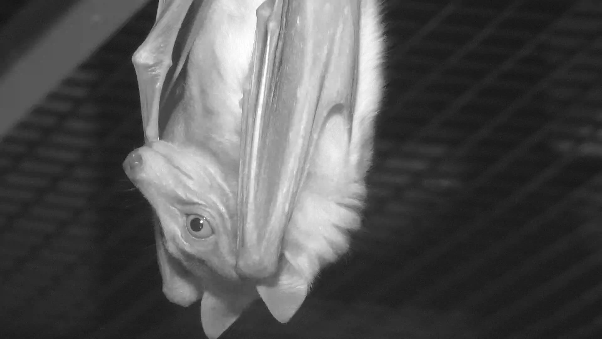 Giant Flying Fox Lubee Bat Conservancy Exploreorg