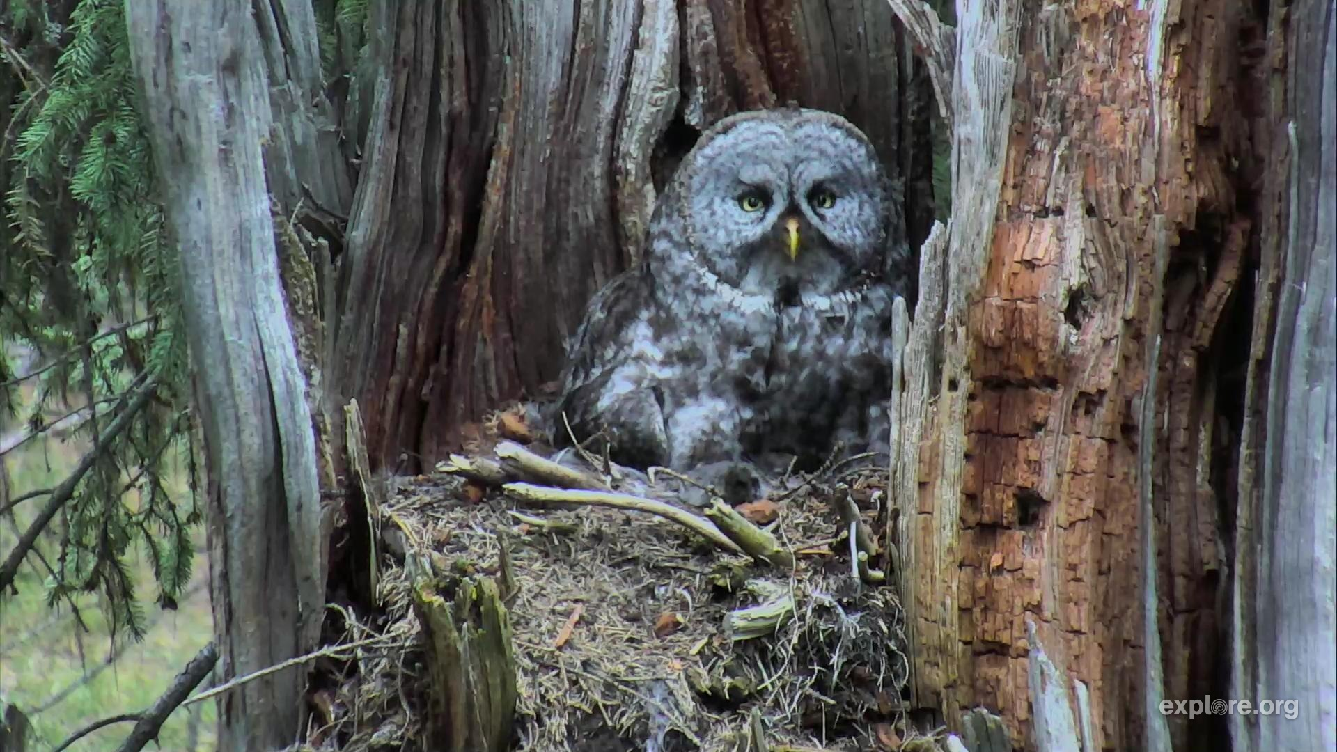 great gray owl nest - Picture Of Owl