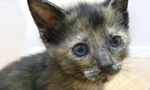Founded in 1997, Kitten Rescue is a Los Angeles-based no-kill animal rescue organization dedicated to the rescue, rehabilitation and rehoming of homeless and abandoned cats and kittens. Each year, our network of over 100 volunteer foster homes rescue and adopt out nearly 1,000 cats. Many of our rescues come from high-kill city and county shelters, where less than one in three impounded cats make it out alive. Every one of our rescues is spayed/neutered, tested for leukemia and FIV, vaccinated and microchipped prior to adoption. This cat family resides in their own special room at the Kitten Rescue Sanctuary, a private shelter and sanctuary facility that houses around 100 cats in a cage-free setting.
