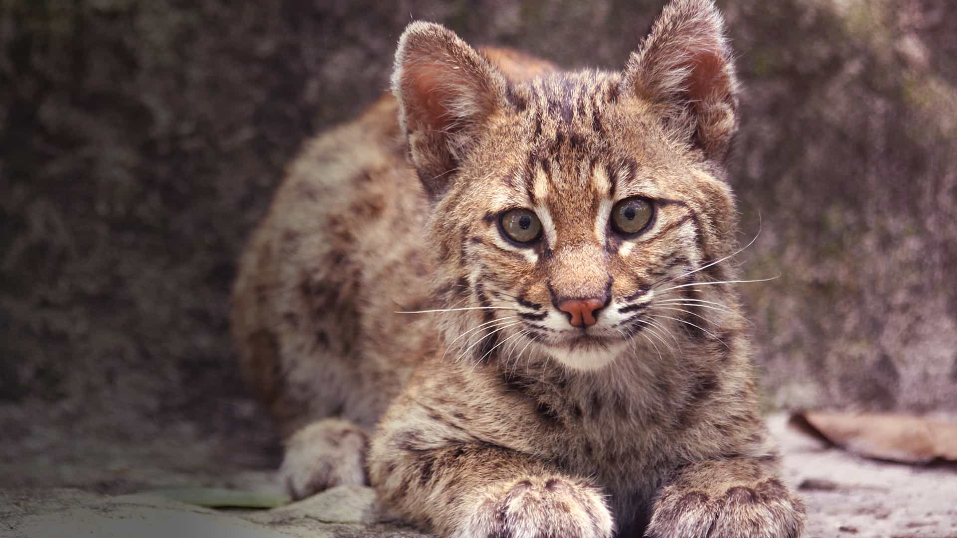 Bobcat Rehab Live Camera Live From Big Cat Rescue Explore Org