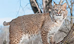 Big Cat Rescue works to give bobcats a second chance at living free after being injured or orphaned. Here they will regain the muscle strength needed to hunt, climb and run. When the bobcats are ready they are released back to the wild. You can see some of those release videos here.
