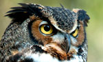 A powerful and adaptable bird of prey, the Great Horned Owl has the most extensive range, the widest prey base and the most variable nesting sites of any American owl. Its large yellow eyes, pronounced ear tufts, and white bib distinguish the Great Horned Owl from related species, especially once its unmistakable multi-tone hoot is heard.
