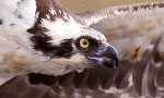 The favorite nesting spot of ospreys Rachel and Steve, Hog Island has a new live cam! In view of our first Audubon Osprey Cam the Boat House Cam will put us into the nest of a new osprey family.