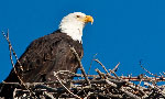 You're invited into the nest to discover the breeding and nesting behavior of bald eagles on Santa Cruz Island, part of Channel Islands National Park.
