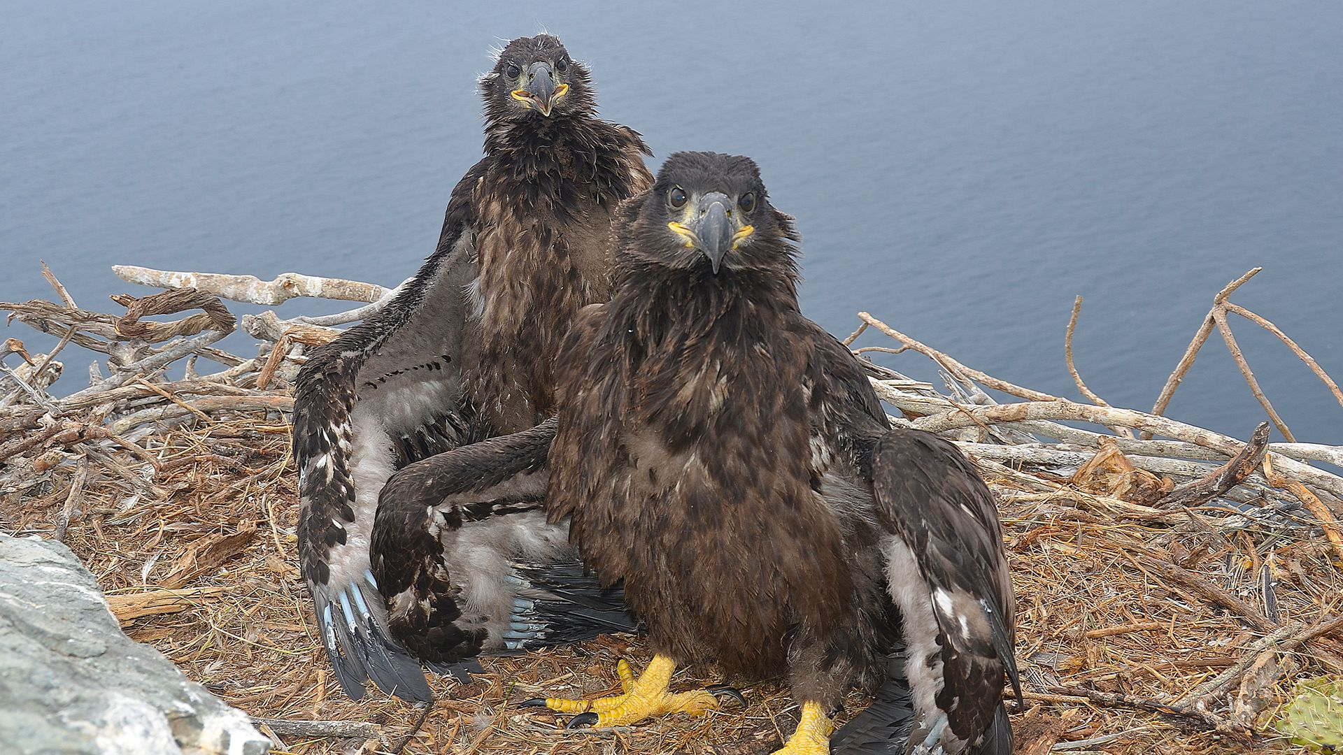 Fraser Point Bald Eagle Camera - Santa Cruz Island, California ...