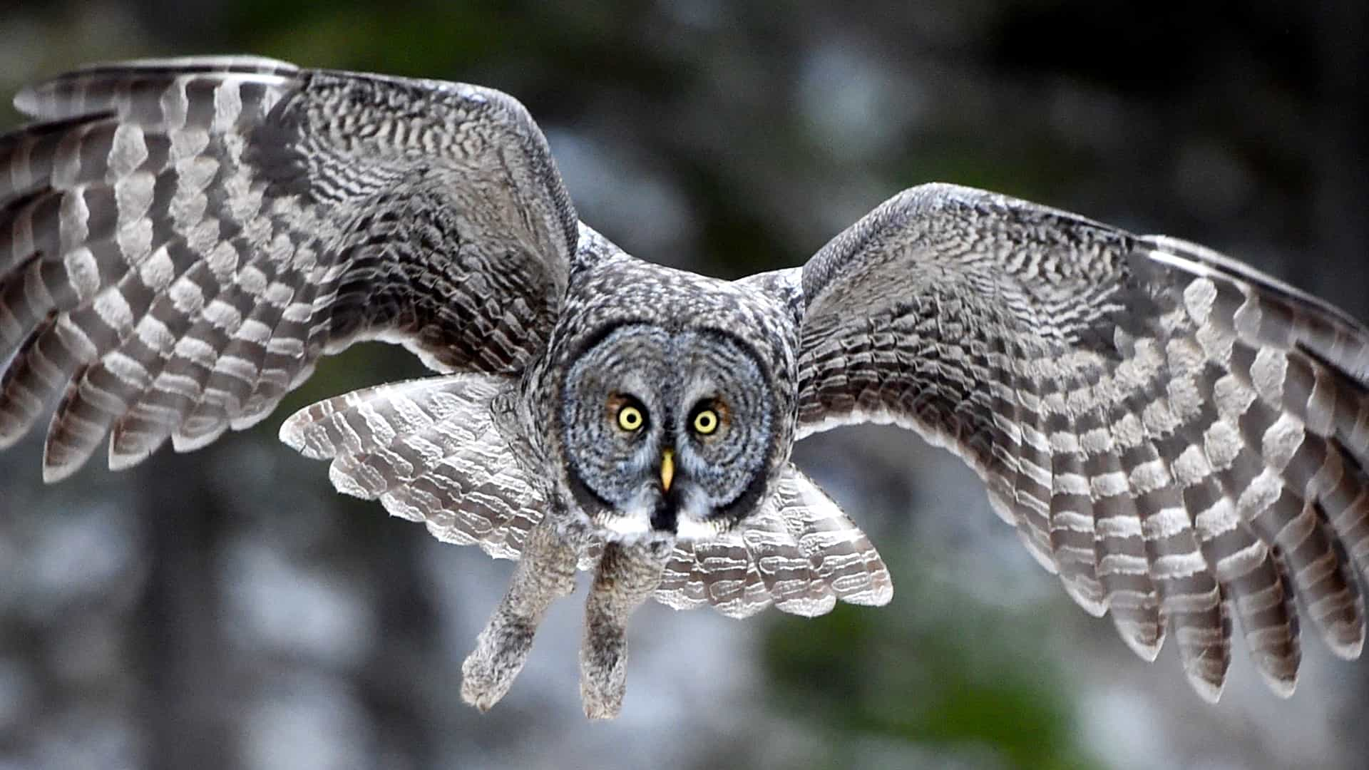 Great Gray Owls at Jim's Place - live owl camera from ...