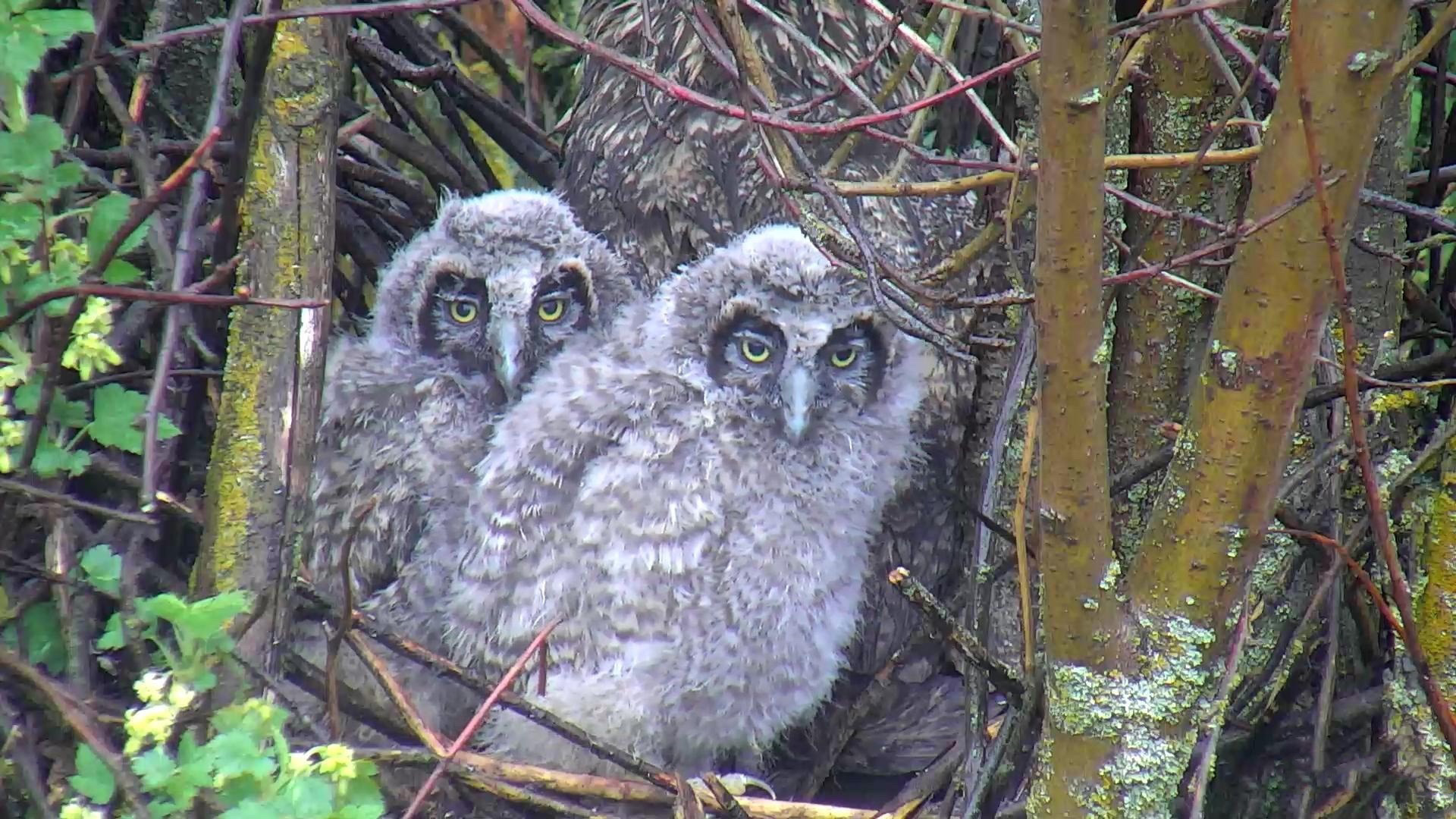 owl nest cam live video of baby long eared owls explore org