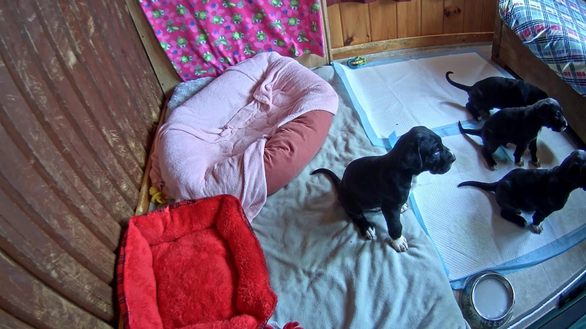 Live Puppy Camera Great Dane Puppies Nursery Cam Exploreorg