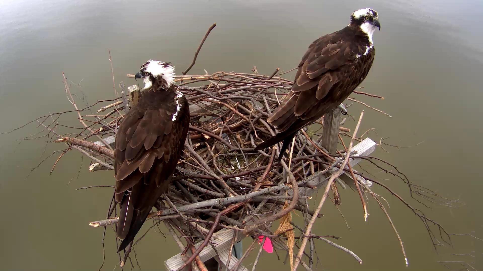 100% kwaliteit hele collectie high fashion Chesapeake Osprey Cam - live video of an osprey nest ...