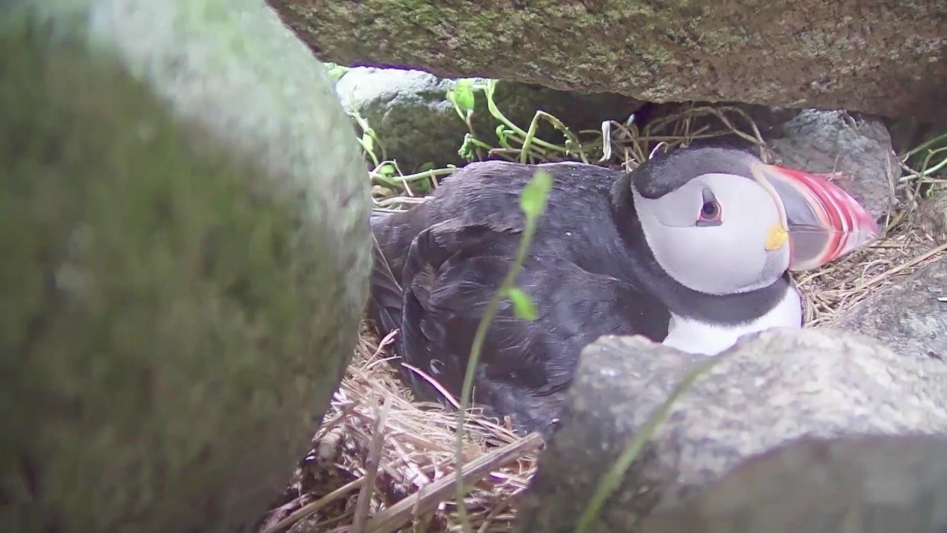 atlantic puffin burrow cam baby puffins explore org
