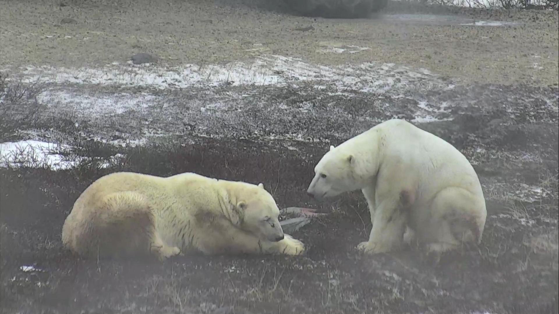 live polar bear cam hudson bay canada explore org