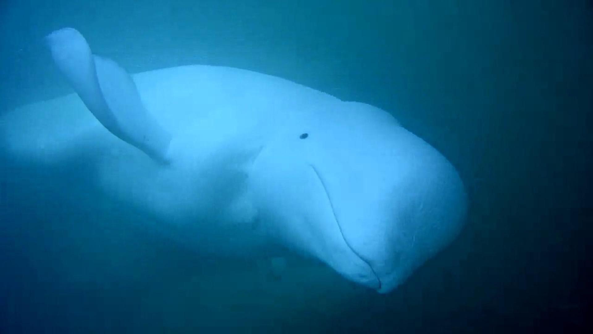 Beluga Whale Cam - live underwater ocean camera | Explore org