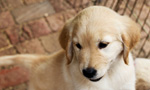 Welcome to the Warrior Canine Connection (WCC) Puppy Enrichment Center!  It is here that Wounded Warriors and WCC staff and volunteers give WCC's Golden and Labrador Retriever puppies the early nurturing and training they need to develop into life-changing service dog partners of combat V