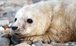 During the shortest days of the year, hundreds of gray seals clamber onto Seal Island for an extraordinary mass breeding event. At this second largest of just four U.S. colonies, the seals come ashore for just a few weeks to give birth and feed their pups. The 300 pound females have one pup per year, with the peak of births in mid January.  At birth, the compelling pups are dressed in a suit of thick, white fur (lanugo) which they begin molting at about three weeks of age.  