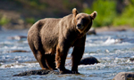 The Riffles - Brown Bear & Salmon Cam