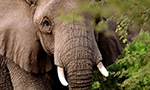 An african elephant in Kenya showing two tusks