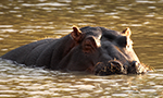 hippo from african webcam
