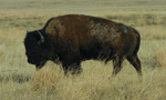 bison grazing on prairie dog camera