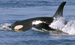 Orcam cam showing killer whale near cracroft point in British Columbia