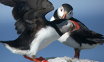 two atlantic puffins on a rock