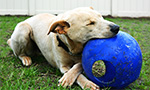 k9s for warriors dog chewing on blue ball