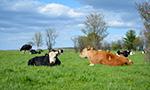 Cattle Pasture Panorama