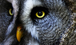 closeup showing the eyes of a Great Gray Owl in its nest
