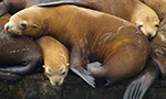 steller seal lions from the sea lion webcam