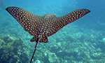 a eagle ray swims through a tropical reef near Grandy Cayman Island