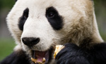 a giant panda in china eating