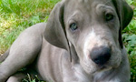 grey Great Dane puppy laying on grass