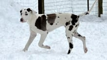 great dane from the outdoor kennel cam