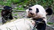 baby panda cam
