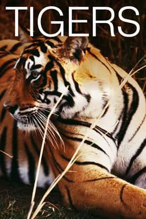 Live Tiger Cam video of tigers at Big Cat Sanctuary Exploreorg