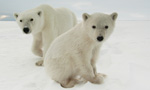 polar bears international questions and answers