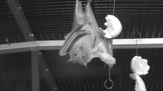 yummie! fruit bat hey do you have a fork?