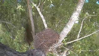 7:00 pm nest time/  Cannot for the life of me figure what this is, lol!!  Leaves blow over the dark blob, so doesn't seem to be on cam lens.