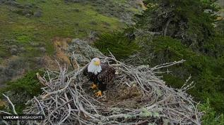 Bald Eagle in Nest Channel Island National Park