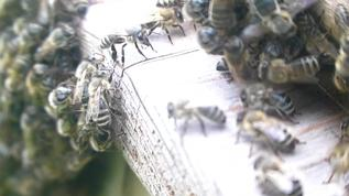 bees are splitting their swarm